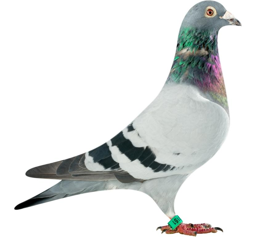 DAN070-13-0151_pigeon