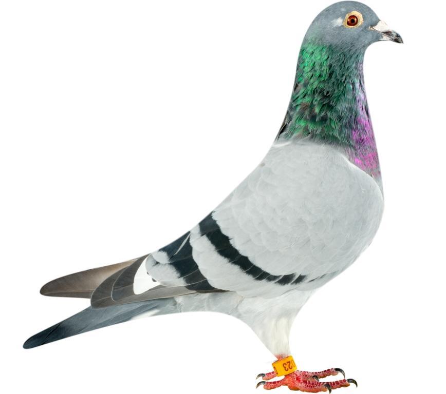 DAN070-14-1023_pigeon